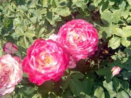 Julia Davis Park Rose Garden in August